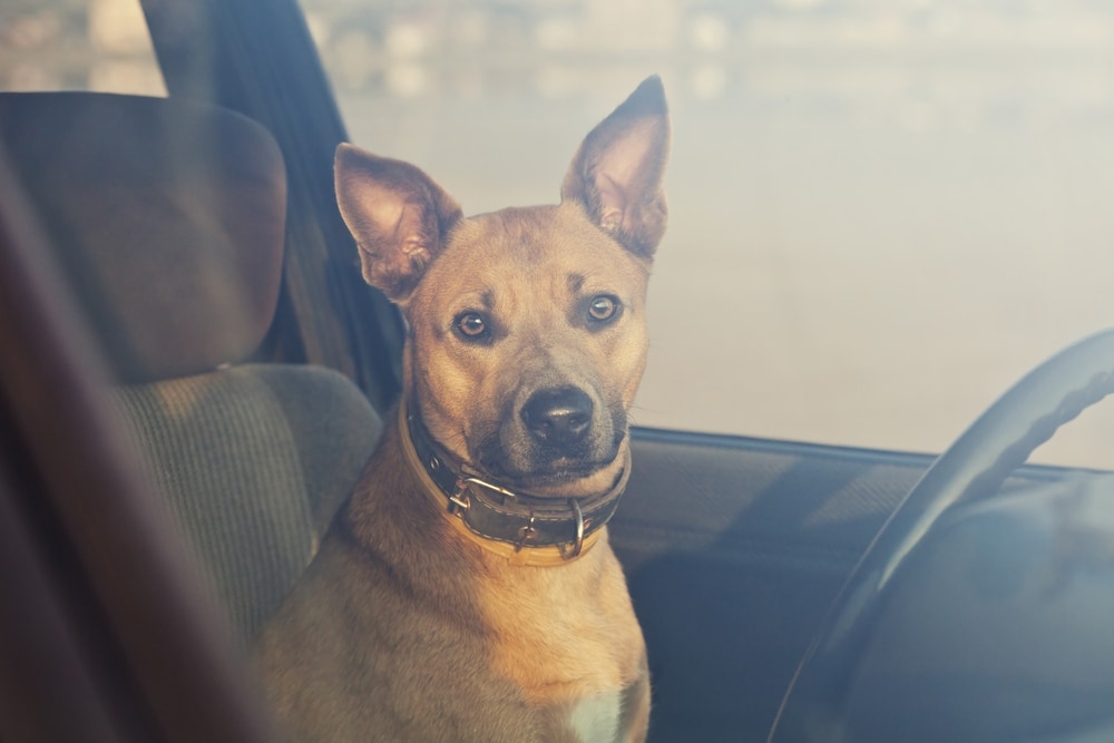 dog sitting in hot car looking at camera